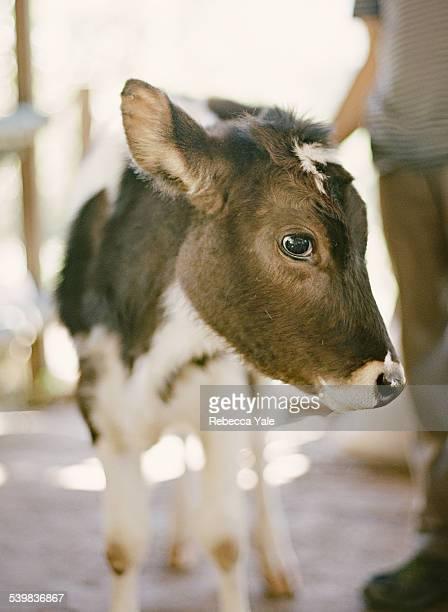 Baby Cow Portrait