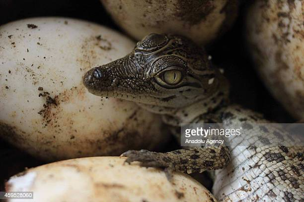 Baby Crocodile Bekatak or Saltwater Crocodile hatchs at the Mangkang Zoo in Semarang Central Java Indonesia November 24 2014 Of the 63 eggs hatched...