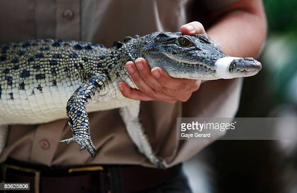 A baby crocodile is held by a wildlife expert from Currumbin Wildlife world during a photo call for the Asia Pacific Screen Awards at the Surfers...