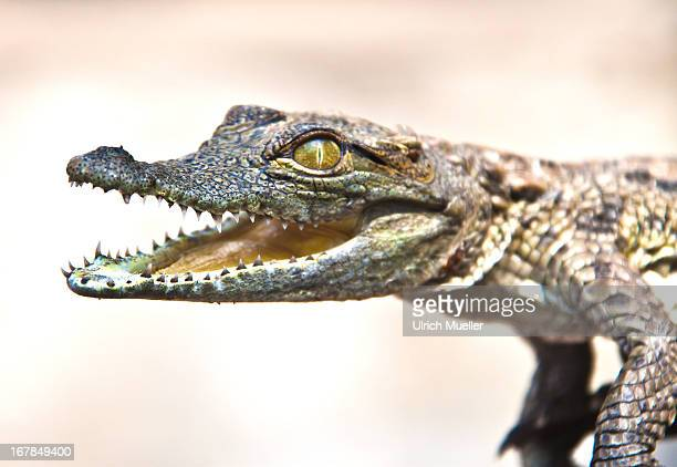 the background information in alligator mississippiensis in the family of crocodylidae American alligator (alligator mississippiensis) scientific classification the family alligatoridae of crocodylians includes alligators and caimans.