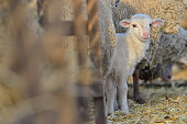 Baby cute lamb in a stable in spring