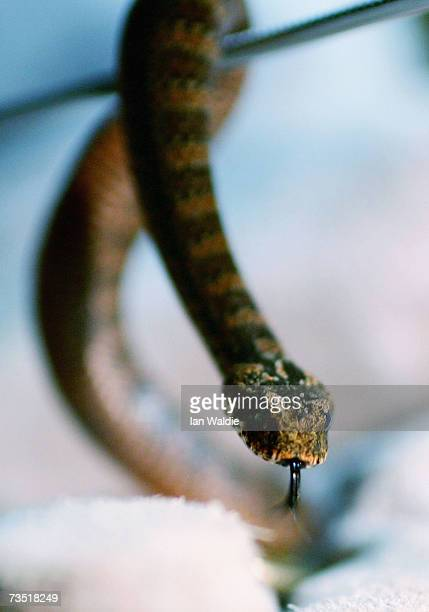 A baby death adder snake is put on display at Sydney Wildlife World March 8 2007 in Sydney Australia A family of eight new death adders have been...