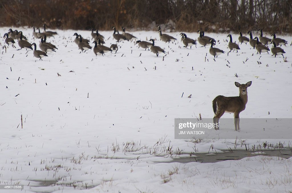 A baby deer and geese are seen in a snow-covered field in Church Hill, Maryland, in the Washington-Baltimore area February 13, 2014, after a heavy snow hit the Eastern United States. The latest brutal freeze to hammer the eastern states of the country since the start of the year has been dubbed 'snowmaggedon,' 'mind-boggling' and 'historic' by major television networks and forecasters. AFP PHOTO / Jim WATSON