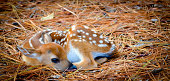 Image was taken early morning; this baby deer (fawn) naturally blends in with the pine needles.