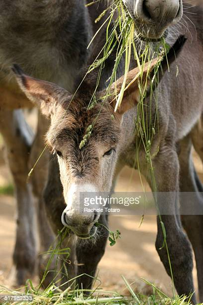 A baby donkey foal is tasting the first grass