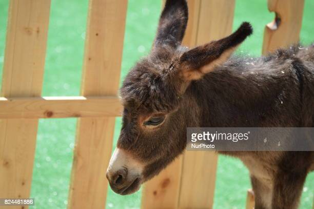 A baby donkey is pictured on the second day of the 7th International Big Ankara Festival in Ankara Turkey on July 30 2017 The festival will continue...