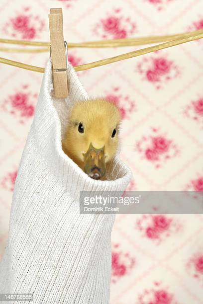 Baby duck hanging in a sock