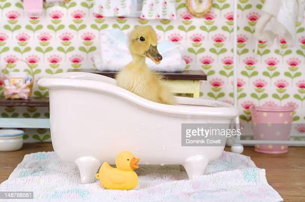 Baby duck in a bath tub