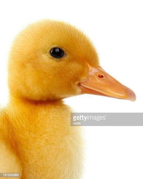Pato-Bebé
