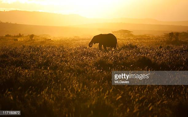 Baby Elephant at Sunset