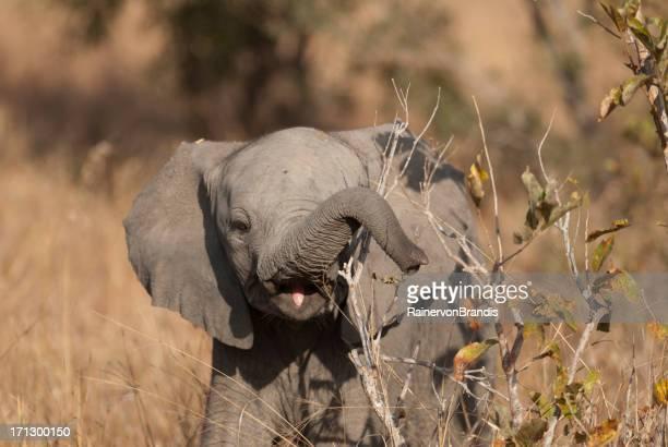 baby elephant feeding