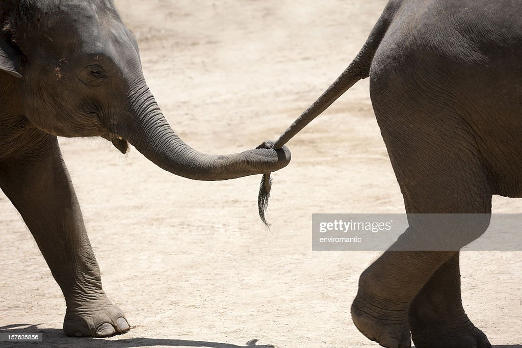 Baby elephant holding the tail of another.