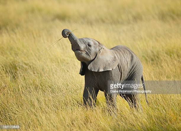 Baby elephant  learning to eat grass