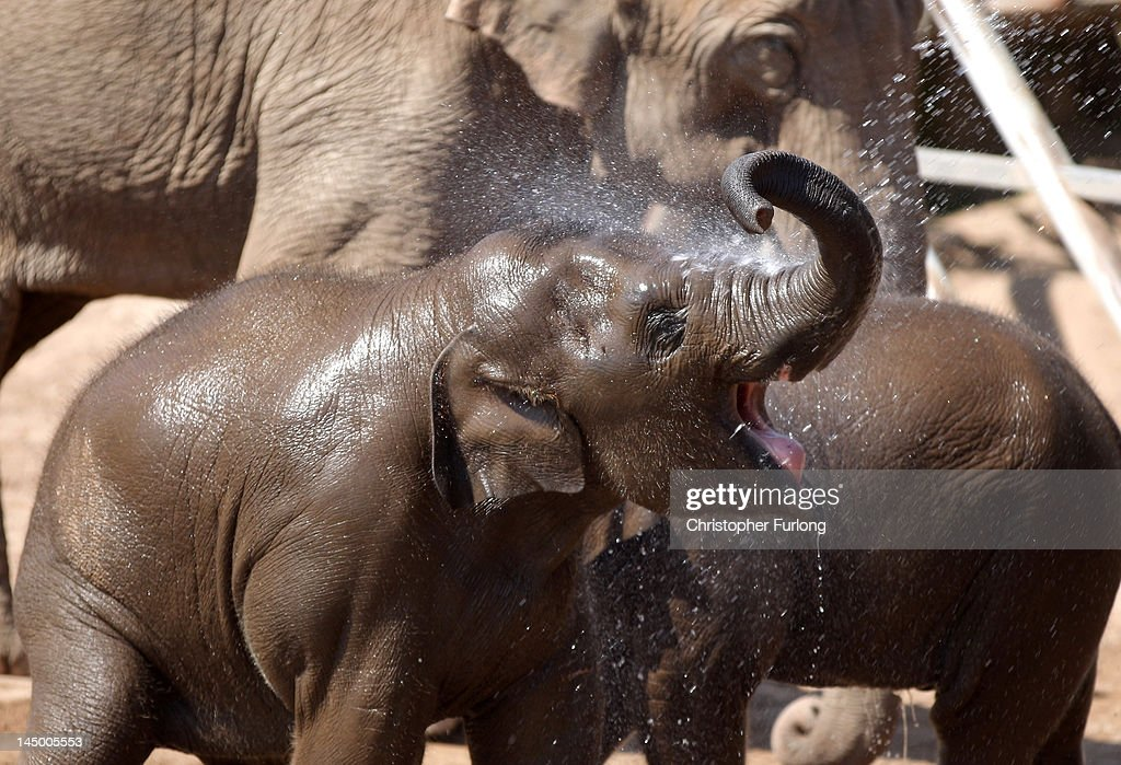 Baby elephant Nayan aged two gets cooled off with water by keepers at Chester Zoo on May 22 2012 in Chester England As parts of Britain bask in...