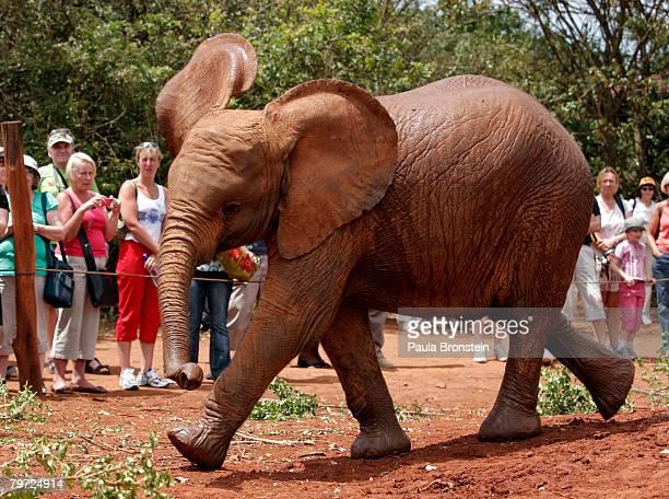 A baby elephant plays at the David Sheldrick Wildlife Trust elephant orphange February 12 2008 in Nairobi Kenya According to reports Kenya is expect...