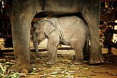 Baby elephant sheltered under mother