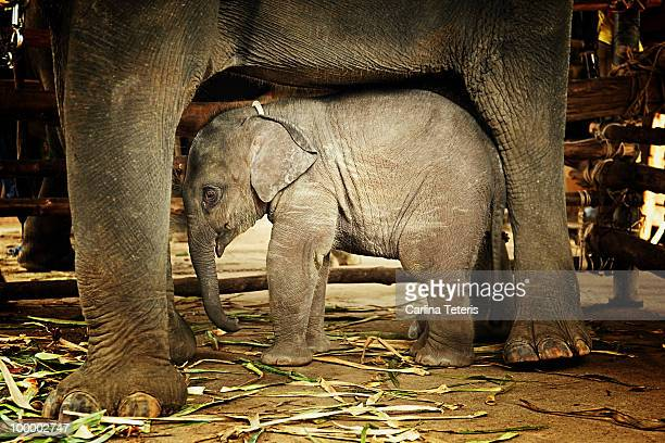 Baby elephant sheltered under mother
