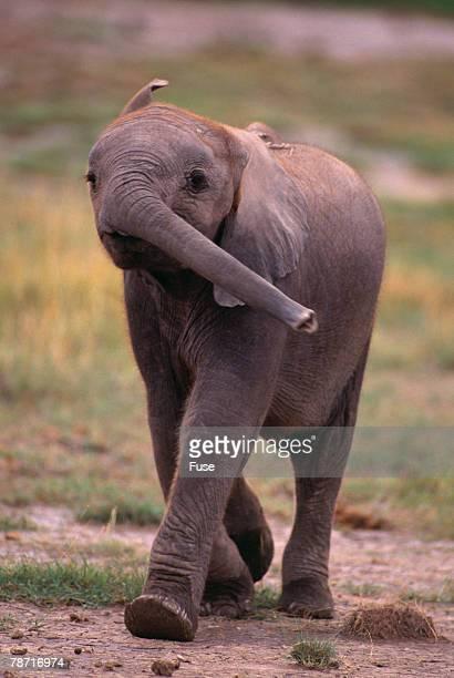 Baby Elephant Strolling