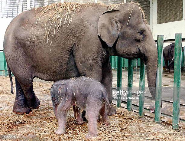 A baby elephant tries to walk just after being born at the Safari Zoo in Pandaan in East Java 09 February 2004 The Sumatranese elephant baby was born...