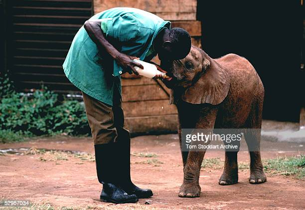A baby elephant whose mother was killed by poachers photographed at Daphne Sheldrick's Sanctuary near Nairobi Kenya