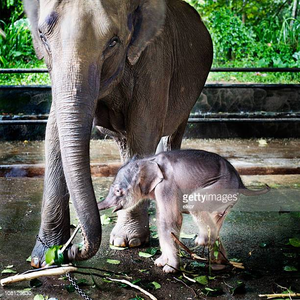 Baby Elephant with Mother at Orphanage