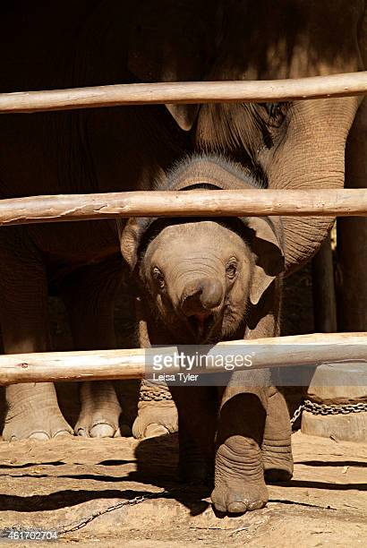 A baby elephants at the Anantara Golden Triangle Resort Together with the nearby Four Seasons Tented Camp the resort raises money through a threeday...