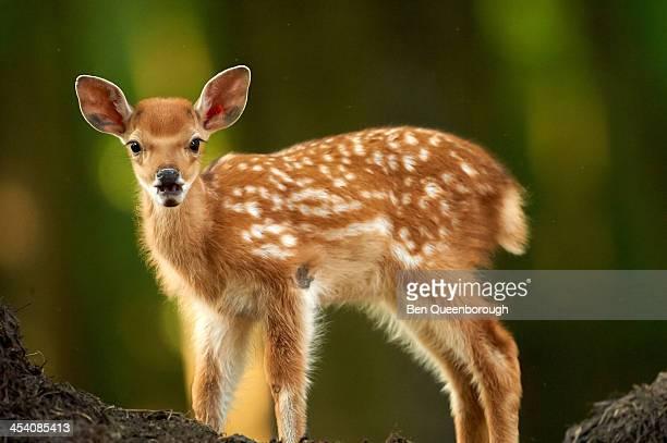 A baby Fallow Deer (Dama dama)
