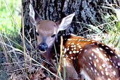 Baby Deer Fawn that was recently born
