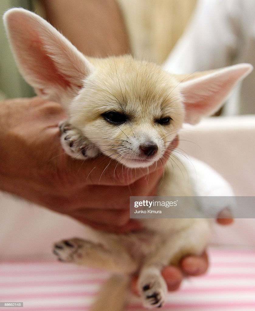 A baby Fennec is seen at Sunshine International Aquarium on June 24, 2009 in Tokyo, Japan. The small nocturnal fox babies were born on May 17 and opened to the public from June 20 attracting many visitors to the Aquarium.