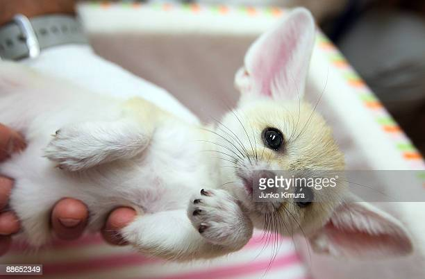 A baby Fennec is seen at Sunshine International Aquarium on June 24 2009 in Tokyo Japan The small nocturnal fox babies were born on May 17 and opened...