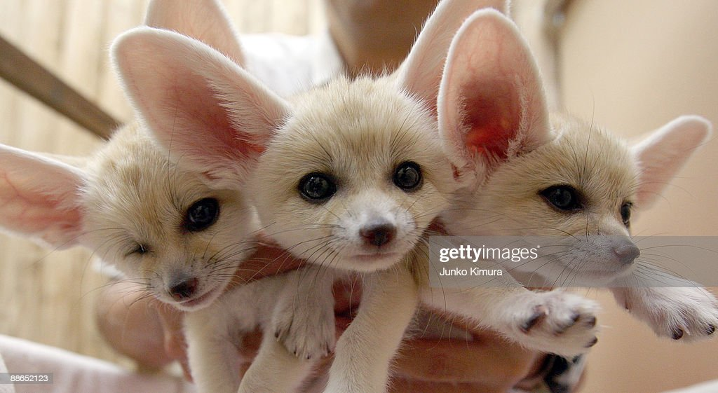 Baby Fennecs are seen at Sunshine International Aquarium on June 24, 2009 in Tokyo, Japan. The small nocturnal fox babies were born on May 17 and opened to the public from June 20 attracting many visitors to the Aquarium.