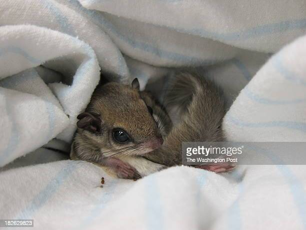 A baby flying squirrel is among the orphaned animals at City Wildlife the District's first wild animal rehabilitation center in Washington DC on...