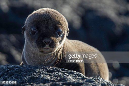 Baby Galapagos Sea Lion, Santiago Island, Galapagos Islands, Ecuador.