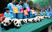 Baby giant pandas lie in a line during the opening ceremony of 2016 panda kindergarten at Chengdu Research Base of Giant Panda Breeding on October 24...