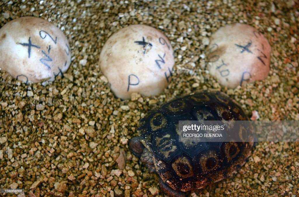 A baby giant turtle remains next to eggs at the breeding centre for giant turtles at the Galapagos National Park, in Santa Cruz island, Ecuador, on December 9, 2012.