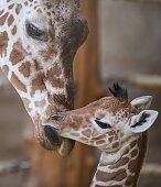 A baby giraffe is being licked by its mother Malindi at the zoo in Duisburg western Germany on February 13 2015 The baby giraffe was born at the zoo...