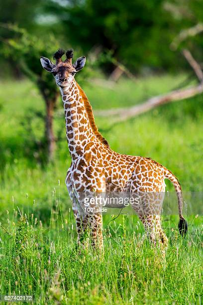 Baby giraffe like a toy with umbilical cord