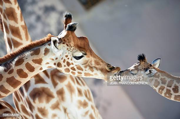 TOPSHOT Baby giraffe of Niger 'Kenai' born on August 25 kisses his mother 'Dioni' on August 31 2016 at the zoo of La Fleche northwestern France / AFP...