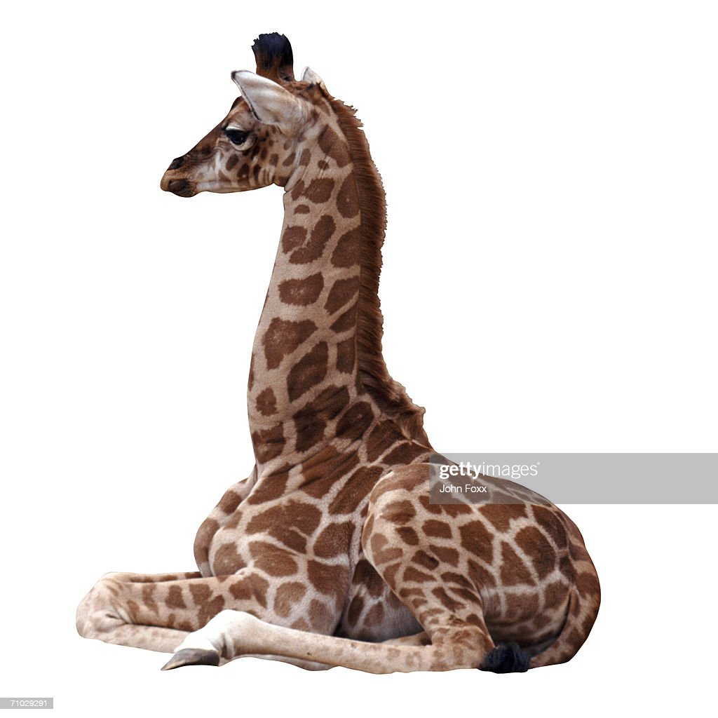 baby giraffe : Stock Photo