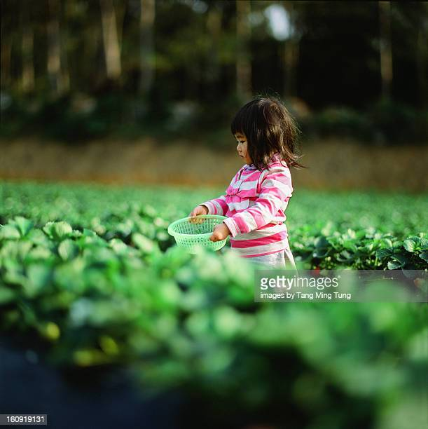 Baby girl picking strawberry in strawberry field