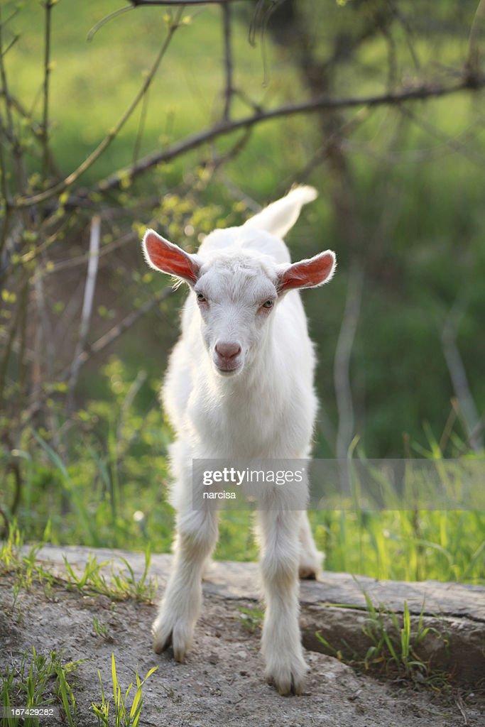 De cabra na relva : Foto de stock