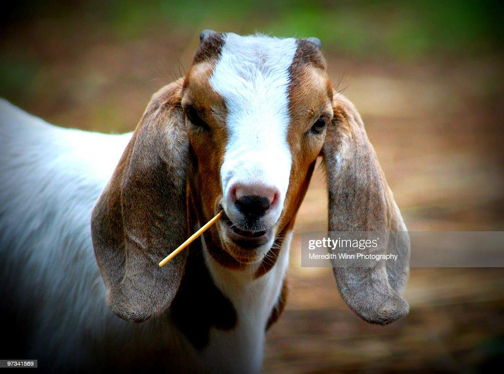 Happy Goats