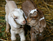 Two baby goats sharing a special moment