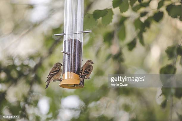 Baby Gold Finches