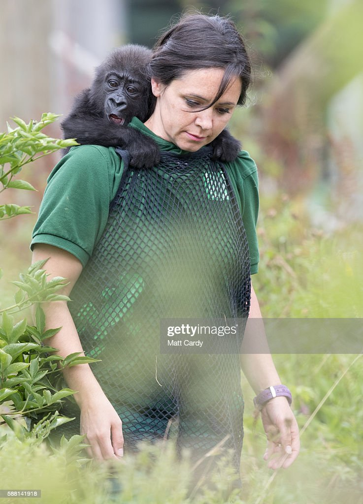 Baby gorilla Afia catches a ride on her keeper Joanne Rudd on 'Gorilla Island' at Bristol Zoo on August 10 2016 in Bristol England The hand reared...