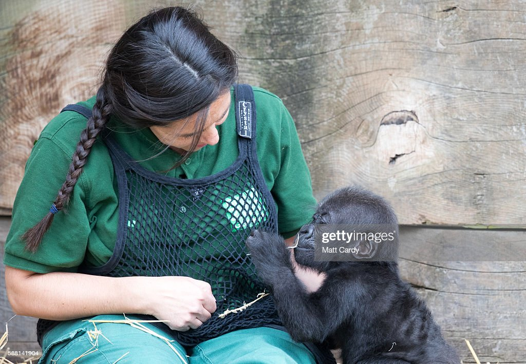Baby gorilla Afia interacts with her keeper Joanne Rudd in the Gorilla Island at Bristol Zoo on August 10 2016 in Bristol England The hand reared...