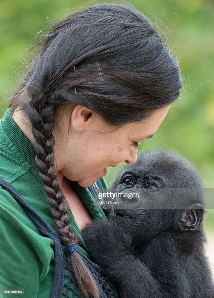 Baby gorilla Afia interacts with her keeper Joanne Rudd on 'Gorilla Island' at Bristol Zoo on August 10 2016 in Bristol England The hand reared...