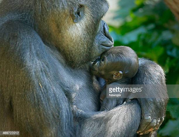Baby gorilla 'Kanzi' with her mum 'Kimya' at Melbourne Zoo in Melbourne Victoria Australia 'Kanzi' was born in March bringing the total number of...