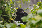 A beautiful baby gorilla in bwindi impenetrable national park