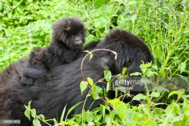 Baby gorilla riding on the back of his mother, Congo